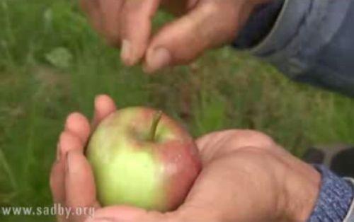 Видеокурс Как сохранить урожай яблок