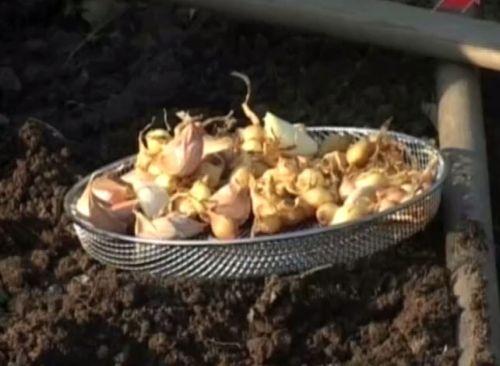 Видеокурс Выращивание чеснока