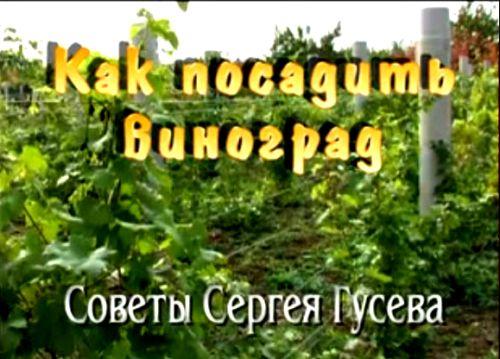 Видеокурс Как посадить виноград