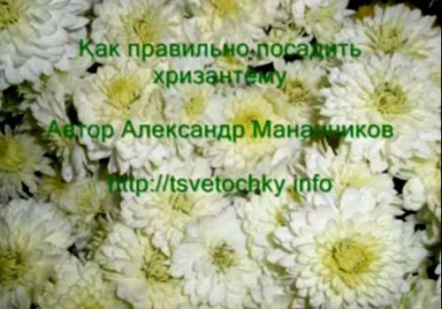 Видеокурс Как правильно посадить  хризантему