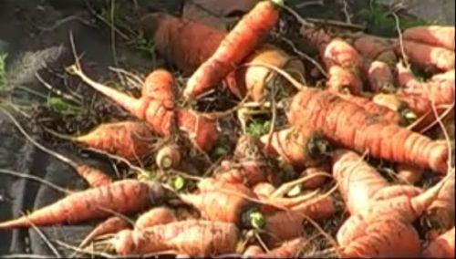 Видеокурс Выращивание моркови, лука и  чеснока