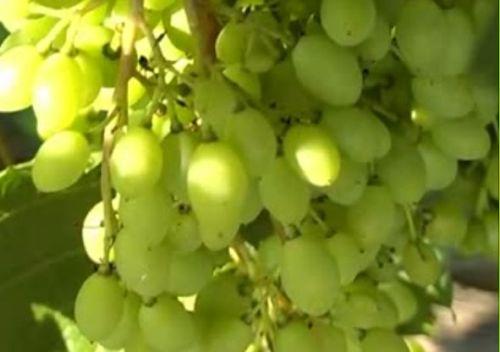 Видеокурс Защита и профилактика кистей  винограда